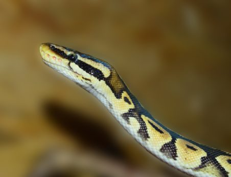 reptile, zoology, wildlife, snake, python, exotic animal