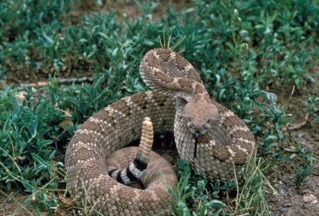animal, wildlife, snake, rattlesnake, viper, reptile, nature