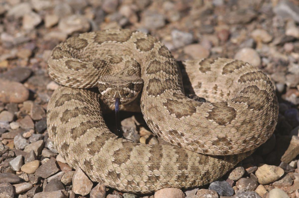 nature, brown, predator, stone, ground, snake, rattlesnake, viper, wildlife