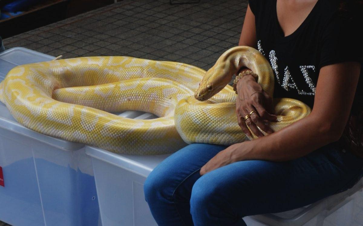python, snake, terrarium, reptile, white boa, person, woman