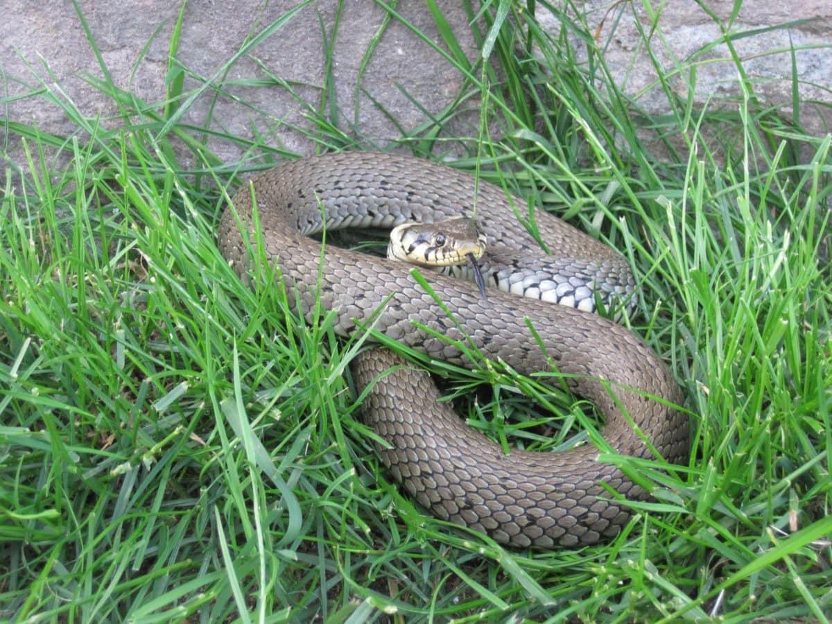 reptil, zmija, divljina, životinja, zelena trava, priroda