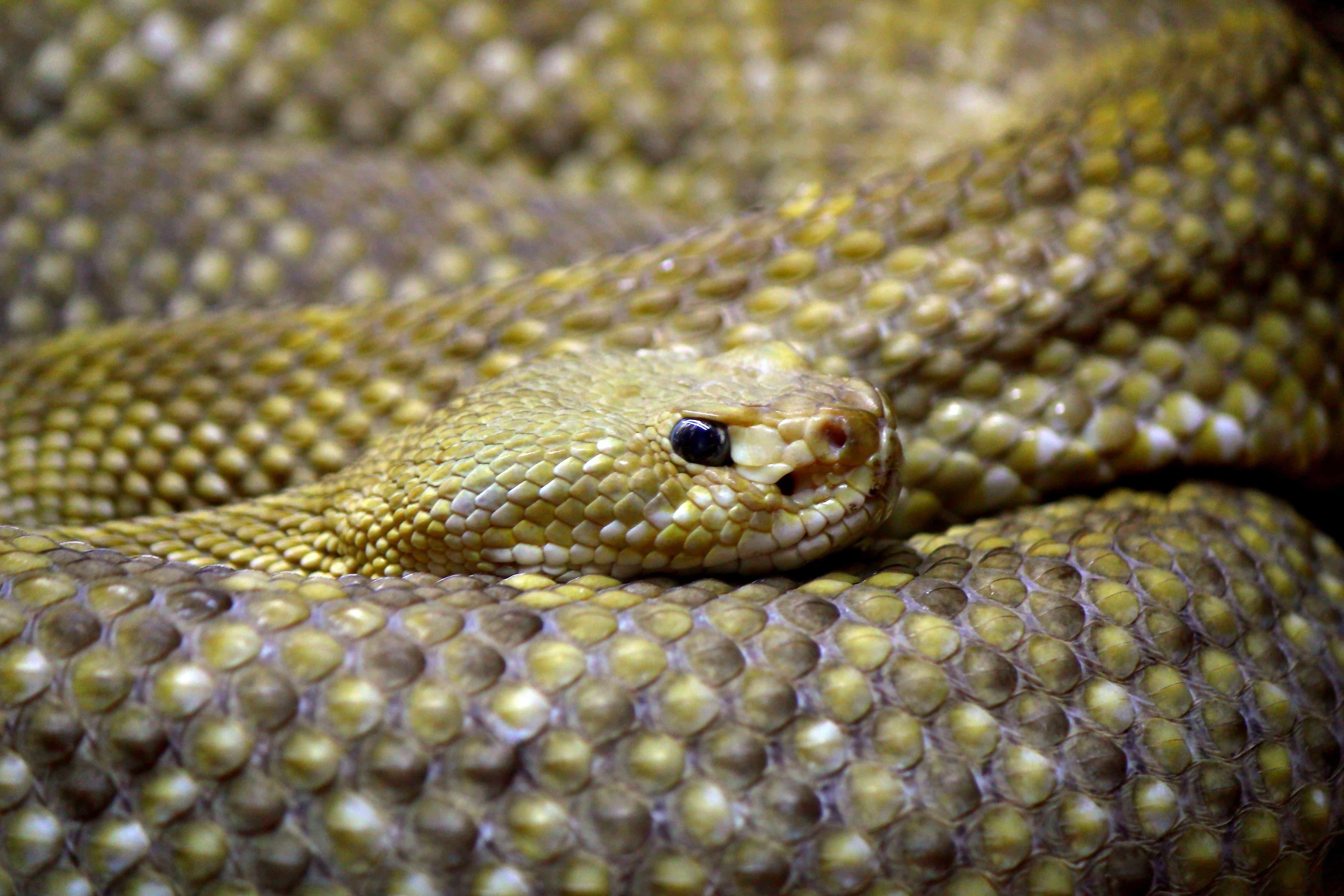 Free Picture Rattlesnake Camouflage Cobra Reptile Wildlife