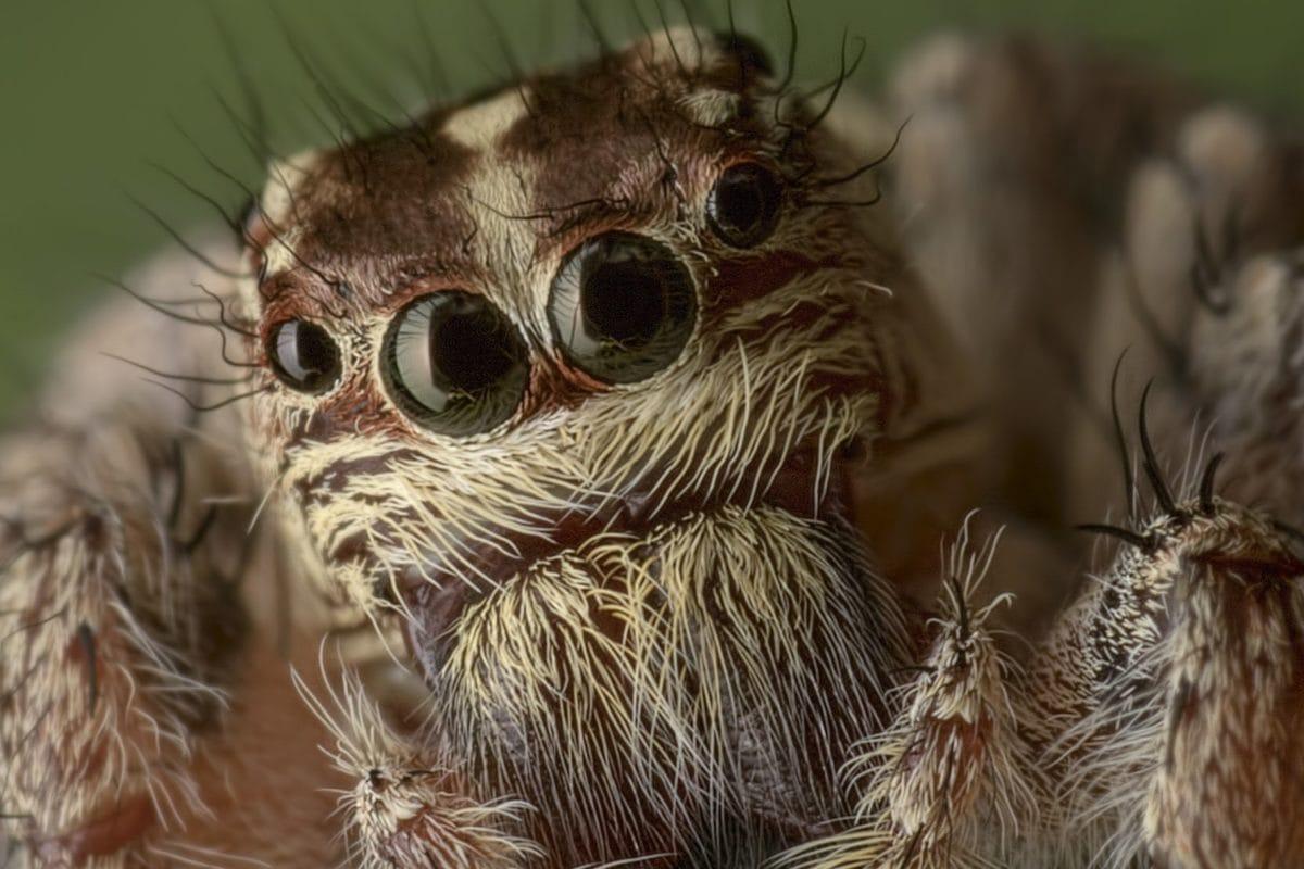 villieläimet, eläin, luonto, ruskea hämähäkki, silmä, pää, hyönteinen