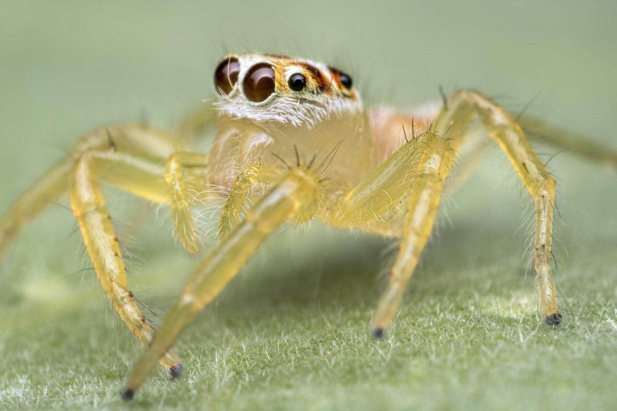 predator, biljni i životinjski svijet, kukac, priroda, makro, životinja, žuti pauk, beskralježnjak