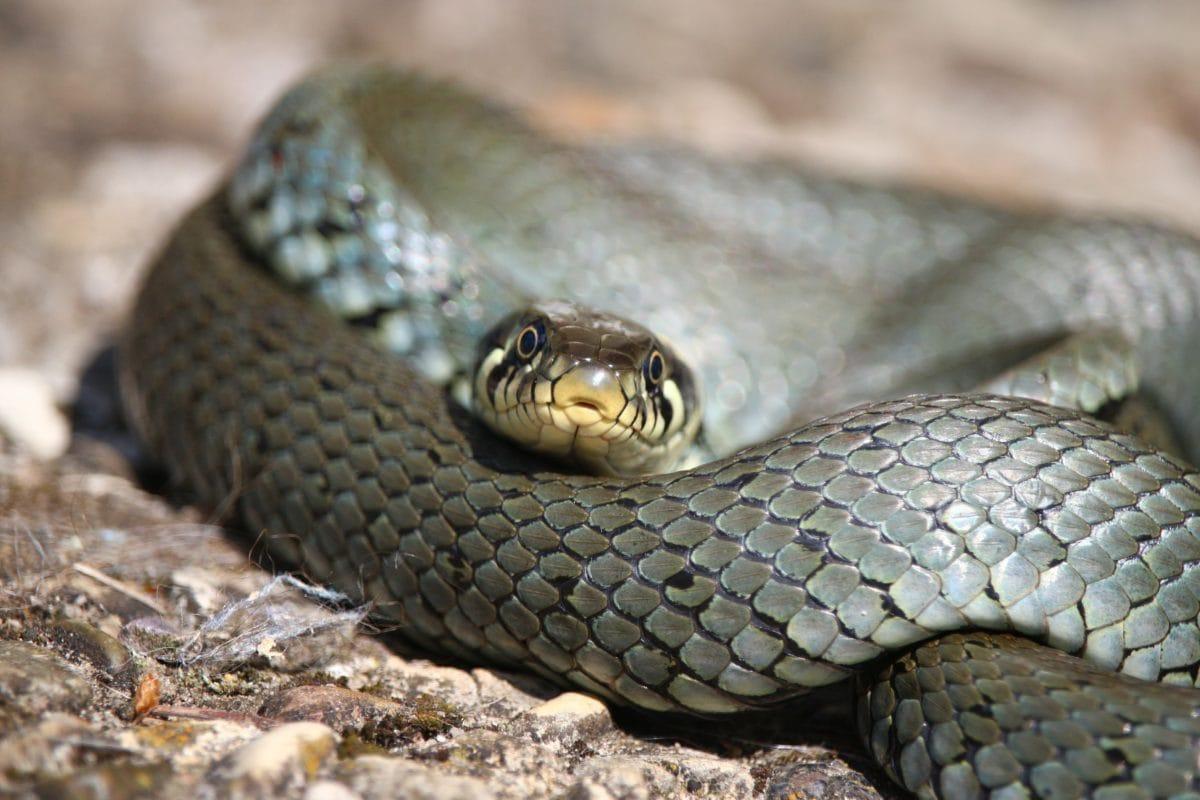 grey snake, viper, animal, rattlesnake, reptile, wildlife, nature, danger