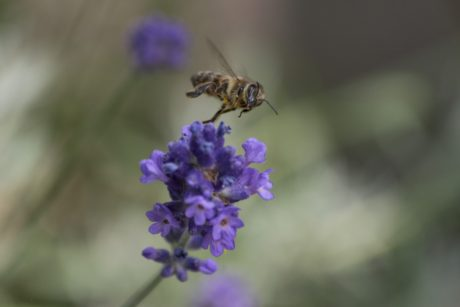 bee, flower, nature, insect, lavender, plant, herb, garden