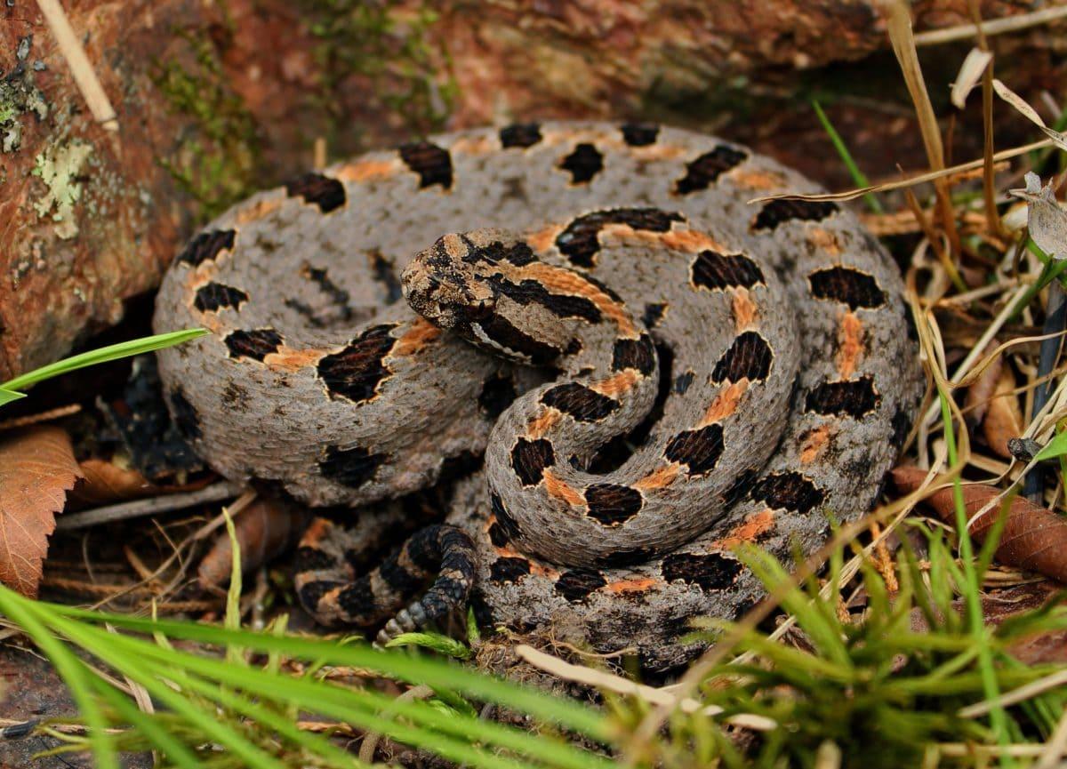 Viper, ular, hewan, alam, kamuflase, reptil, satwa liar, ular