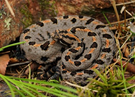 vipère, serpent, animal, nature, camouflage, reptile, faune, Crotale