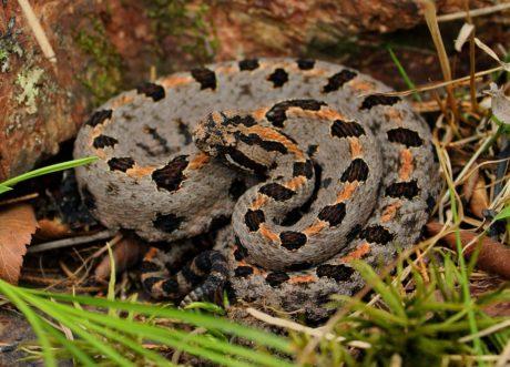 Viper, zmija, životinja, priroda, kamufliranje, reptil, divlje životinje, zvečarka