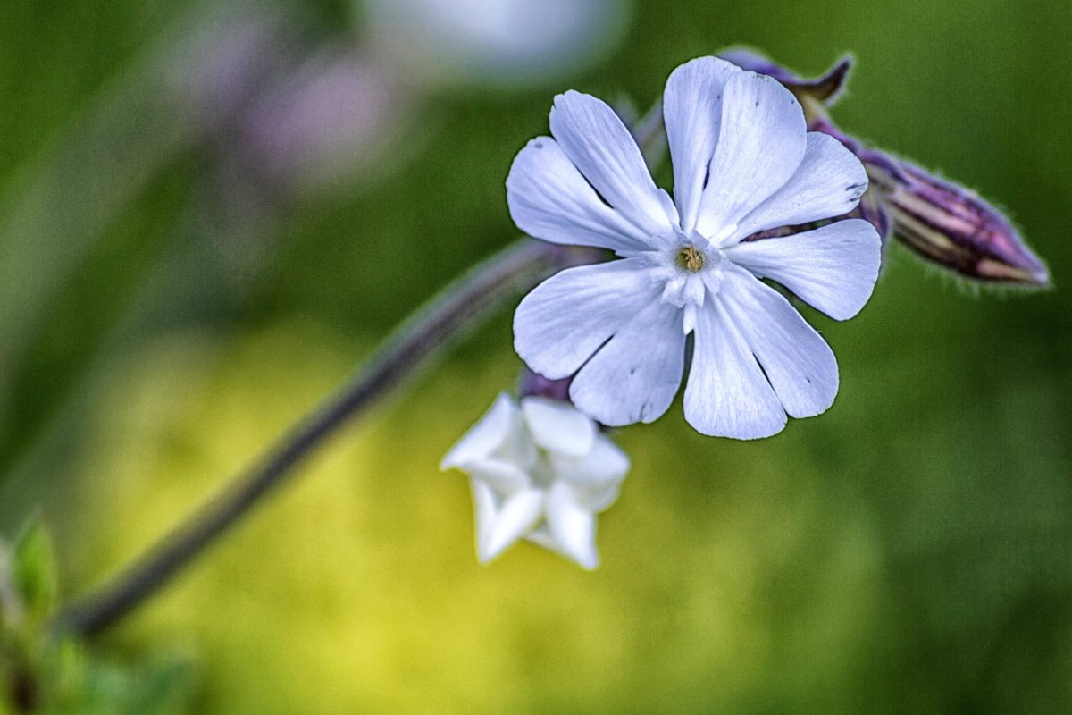 Κήπος, καλοκαίρι, οικολογία, βιολογία, μωβ λουλούδι, φύλλο, φύση, βότανο, φυτό