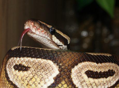Viper, brun slange, Venom, klapperslange, dyreliv, Python, krybdyr