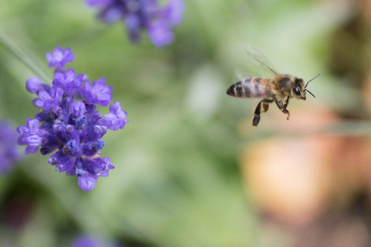 pollinisation, pollen, nature, abeille, guêpe, fleur, insecte, arthropode