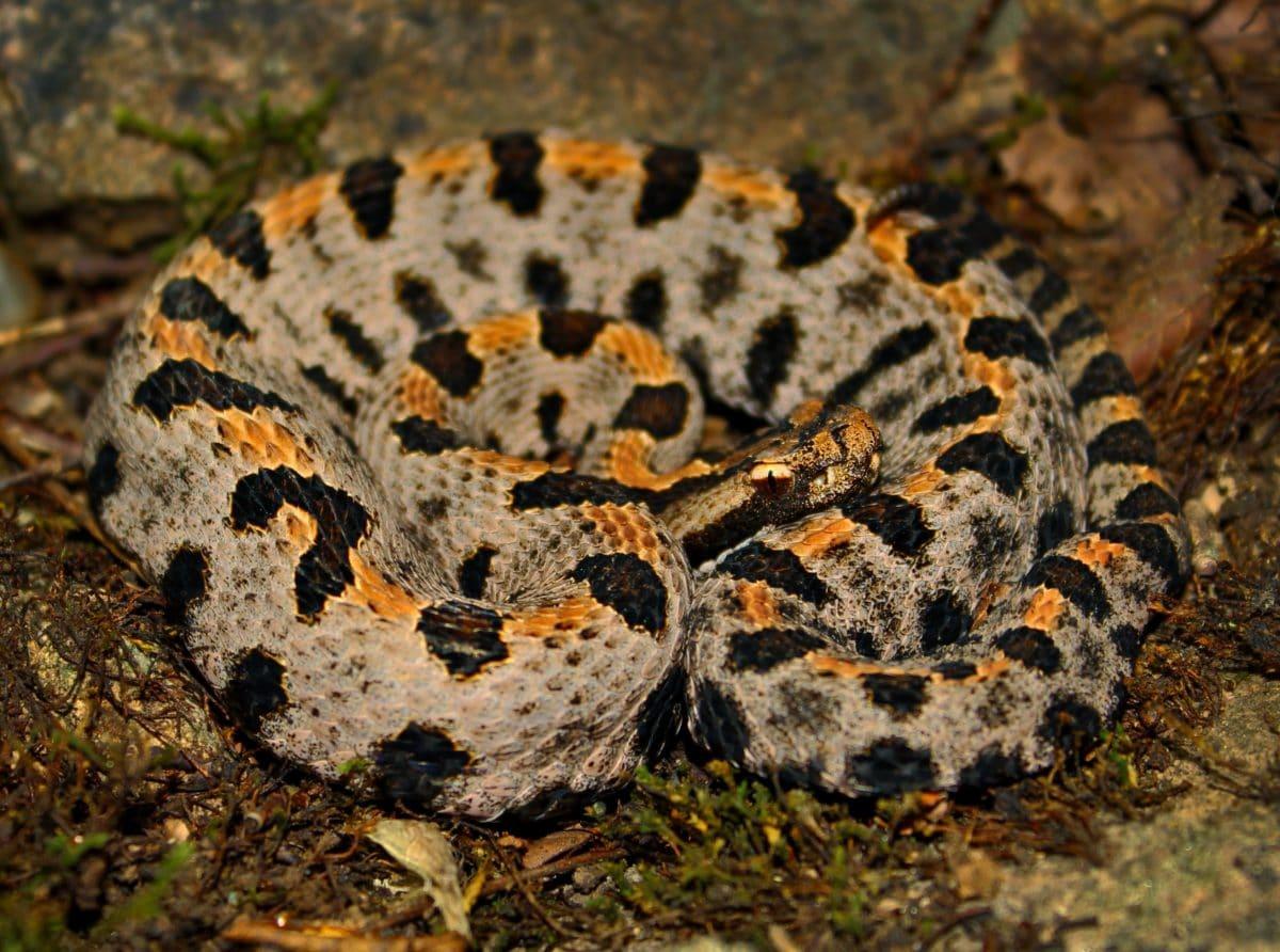 Viper, satwa liar, hewan eksotik, bahaya, reptil, ular, alam, kamuflase, racun