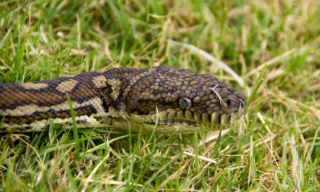 venom, animal, reptile, snake, nature, wild, green grass, wildlife, python