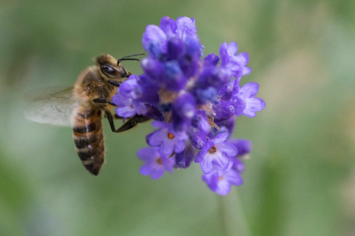 pollination, flower, pollen, flight, pollen, nectar, insect, bee, nature, lavender