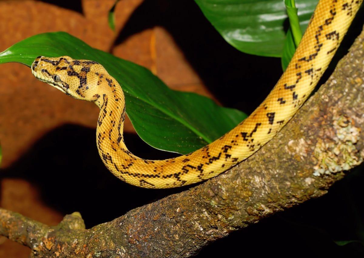 exotic animal, nature, python, yellow snake, zoology, venom, reptile, wildlife