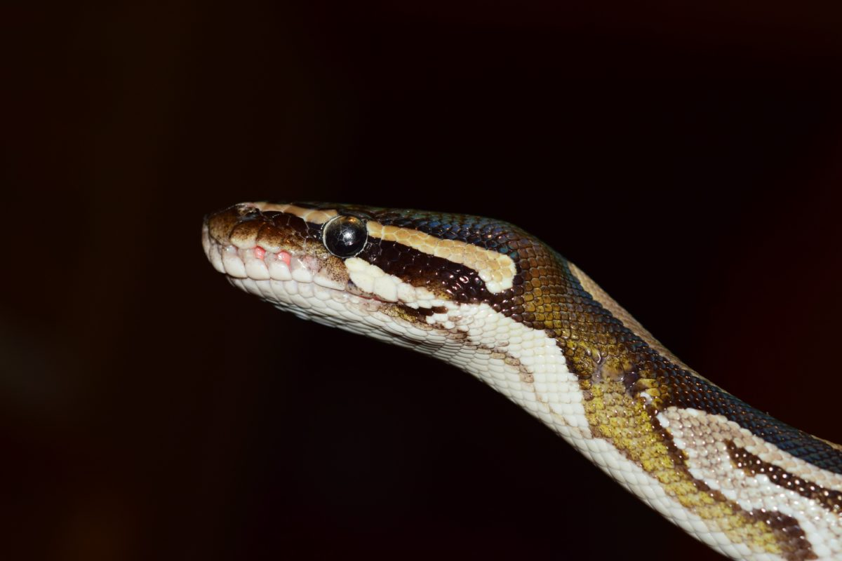 wildlife, animal, reptile, viper, snake, zoology, darkness, night