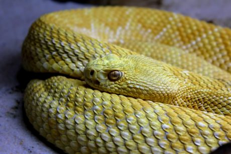 reptile, yellow snake, animal, wildlife, viper, rattlesnake