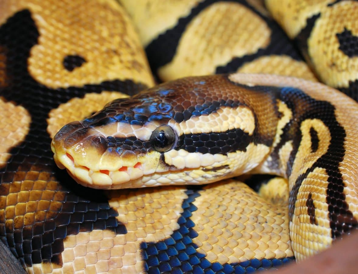 zoology, reptile, wildlife, snake, venom, animal, viper, python head