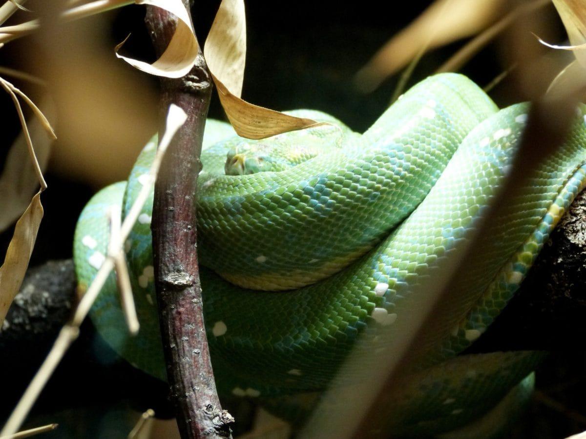 grøn slange, krybdyr, camouflage, gren, træ, dyr, indendørs