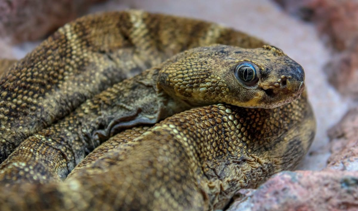 Brown Snake, Wild, camouflage, krybdyr, dyreliv, natur, dyr, rovdyr