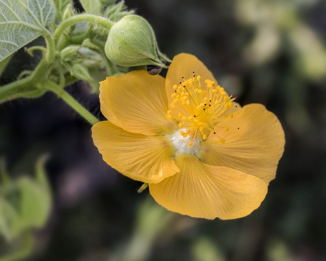 nature, buttercup flower, herb, plant, garden, pistil, pollen, nectar, blossom, petal