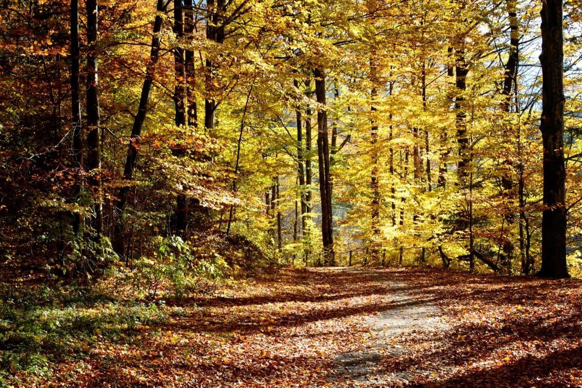 list, dřevo, příroda, krajina, strom, lesní stezka, podzim, bříza