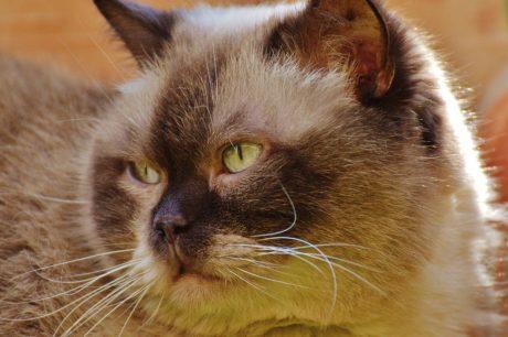 Persian cat, eye, portrait, cute, animal, kitty, feline, kitten, fur