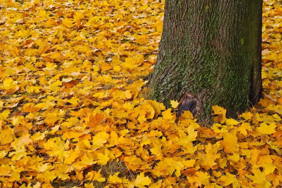 tree, wood, yellow leaf, nature, root, plant, autumn
