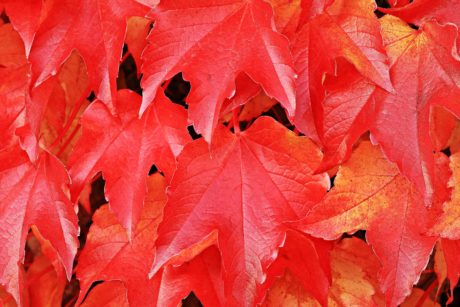 red leaf, nature, autumn, tree, plant, foliage, forest
