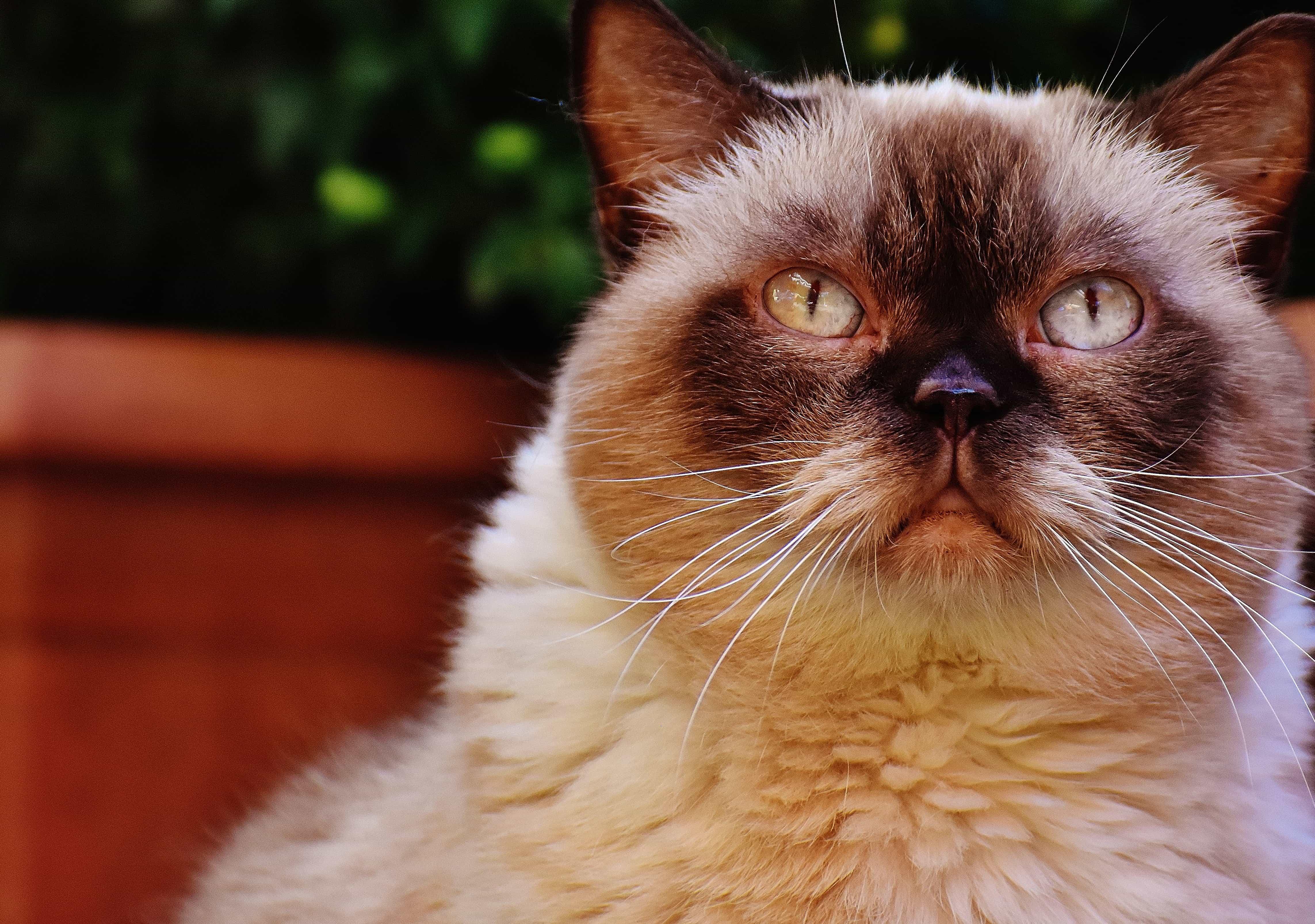 chaton persan blanc