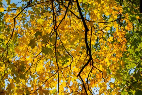 tree, leaf, branch, nature, wood, poplar, autumn, forest
