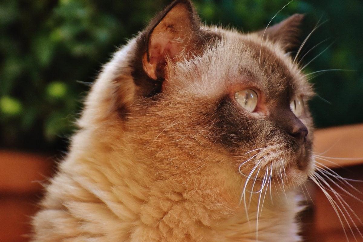 cute, domestic cat, fur, eye, portrait, animal, kitty, feline, kitten