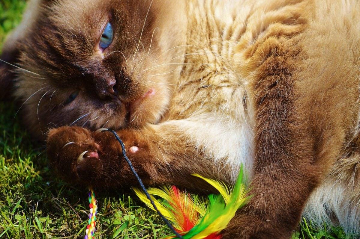 fur, Persian cat, cute, animal, feline, vertebrate, kitty, kitten