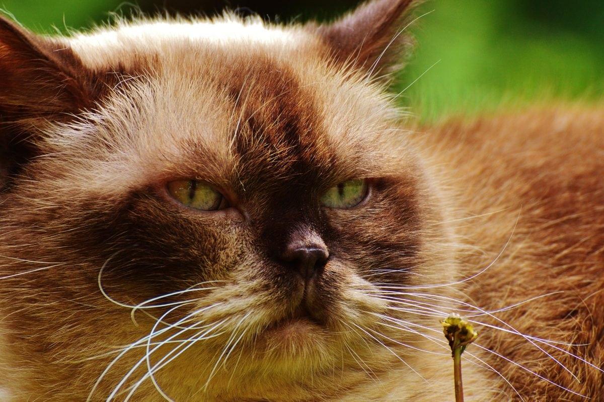 Persian cat, animal, eye, cute, kitten, portrait, kitty, head, fur