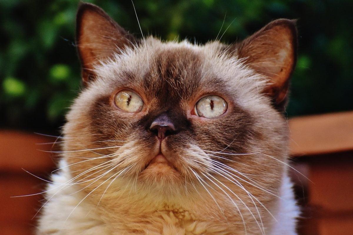 gato doméstico, lindo, ojo, gatito, piel, retrato, animal, gatito, felino
