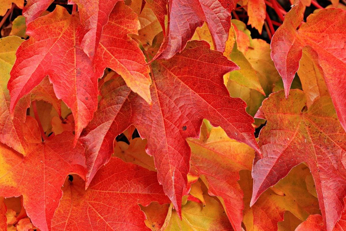 leaf, nature, autumn, oak, plant, tree, foliage, forest