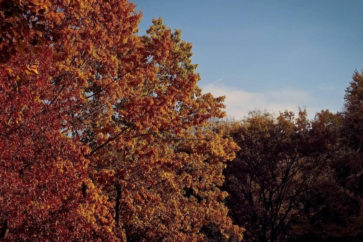 Príroda, strom, lístie, jeseň, Les, krajina, modrá obloha, rastlina
