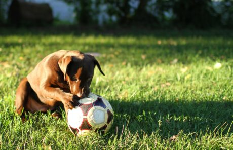green grass, dog, field, shadow, soccer ball, lawn