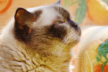 кафява котка, портрет, сладък, котешки, коте, кожа, котенце, животните, мустаци
