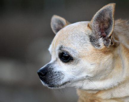 Portrait, chien, fourrure, oeil, canin, animal, chiot, mignon, Chiwawa