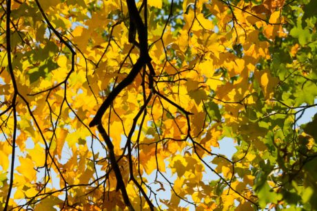 leaf, nature, tree, branch, poplar, forest, autumn, foliage