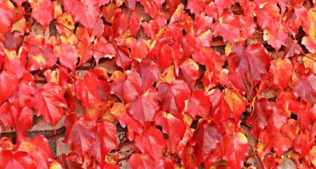 nature, texture, red leaf, pattern, plant, autumn, tree