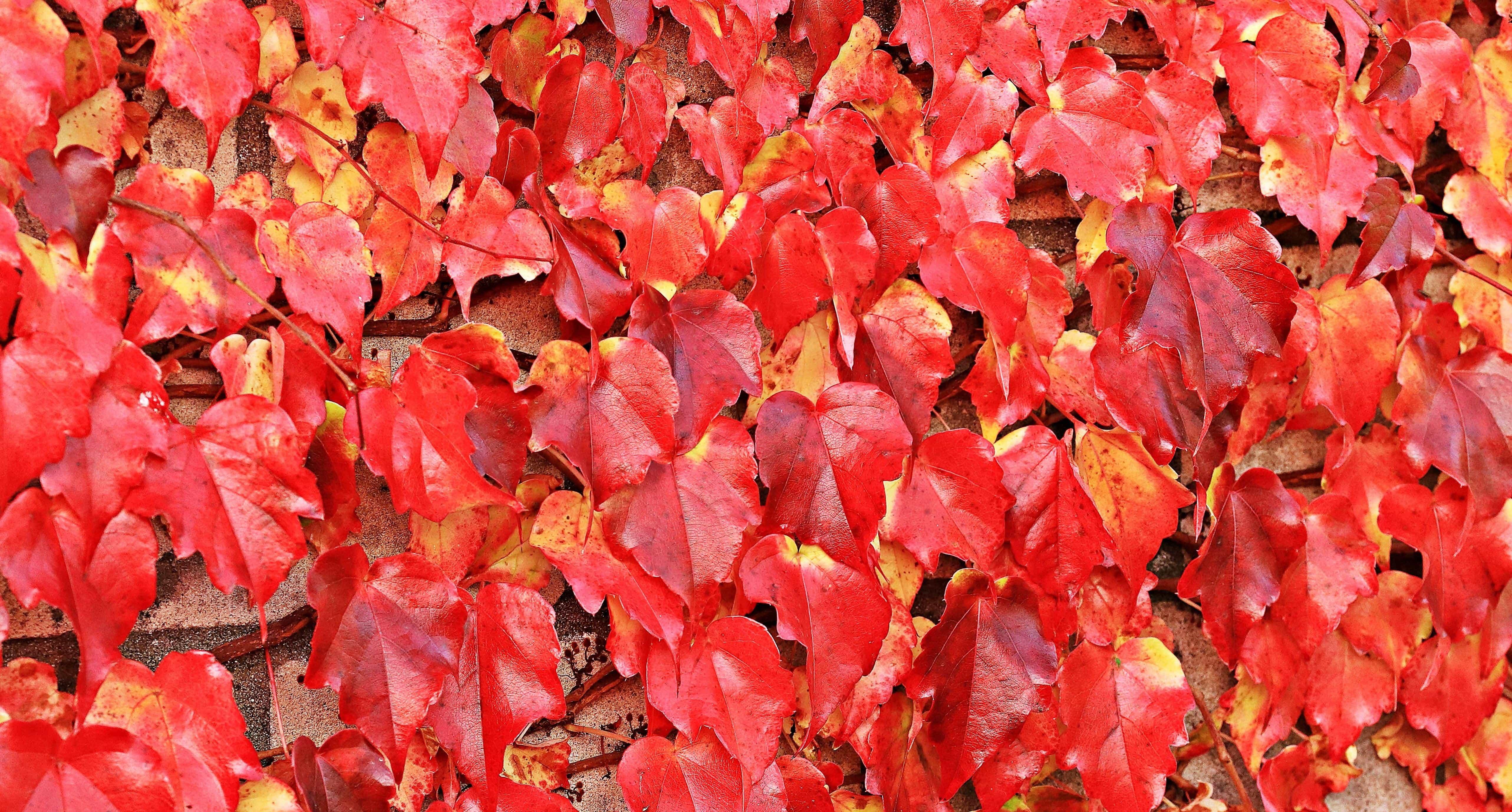 image libre: nature, texture, feuille rouge, modèle, usine, automne