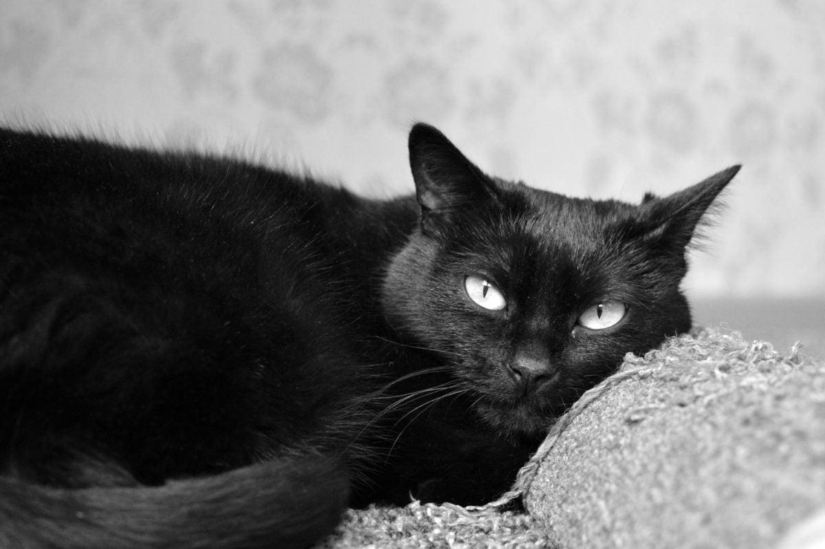 eye, fur, cute, portrait, kitten, black cat, animal, kitty, feline