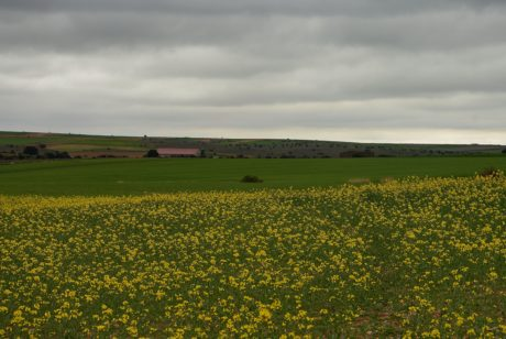 landscape, dark sky, agriculture, nature, field, rapeseed, oilseed