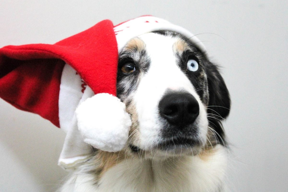 dog, Christmas, holiday, hat, canine, animal, cute, portrait