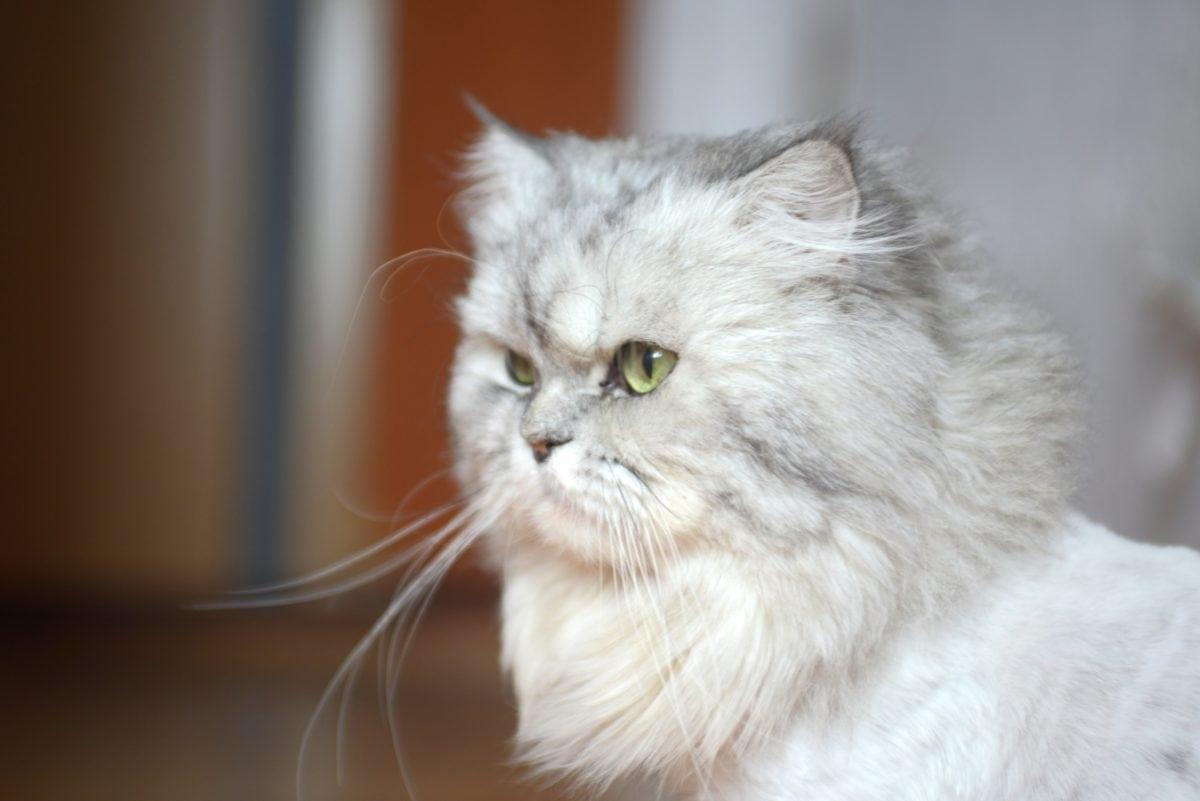 cute, kitten, Persian cat, animal, feline, fur, white kitty, whiskers, eyes