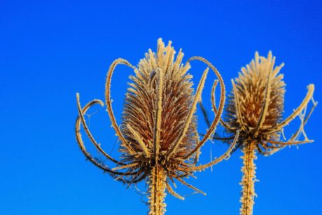 nature, dry thistle, plant, blue sky, herb, summer