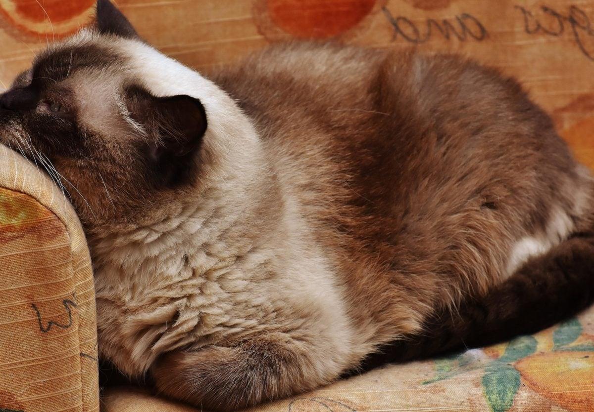 fur, Persian cat, cute, feline, brown, furniture, indoor